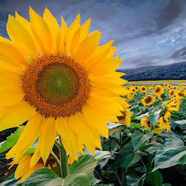Donaldson Farm Sunflowers by David Stinner - Flowers Flower Gardens ( flowers, donaldson farms, united states, sunflowers, summer, canon, outdoor, ef-s 10-22mm f/3.5-4.5 usm, environment, outdoors, north america, eos 7d mark ii, plants, new jersey, hackettstown, evening, nj )