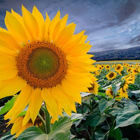 2017-09-11-Donaldson Farm Sunflowers-2.jpg