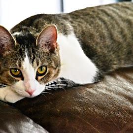Freya  by Olivia Clark - Animals - Cats Portraits