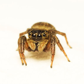 Spider by Fazrul Mustaqim - Animals Insects & Spiders ( macro, bugs, inscets, wildlife, spider, small, eyes )