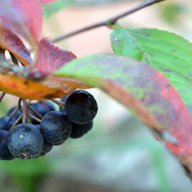 Aronia by Sanel Causevic - Nature Up Close Other plants