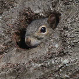 Cozy squirrel by Jo Anne Keasler - Novices Only Wildlife