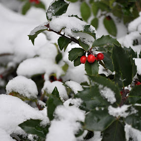 Snowy Holly by Kristina Weber - Nature Up Close Trees & Bushes ( icy, holly, winter, snow, berries )