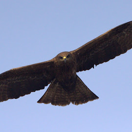 BLACK KITE AT FLIGHT MODE by Rohit Lamba - Animals Birds ( black kite )
