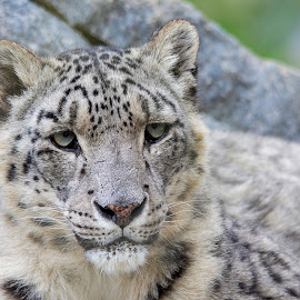 Snow Leopard in the rocks - portrait by Fiona Etkin - Animals Lions, Tigers & Big Cats ( feline, nature, mammal, snow leopard, animal, big cat, spotted )