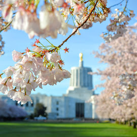 Oregon's Capital City by Brian Chung - City,  Street & Park  City Parks ( oregon, capitol, flowers, spring, cherry blossoms,  )