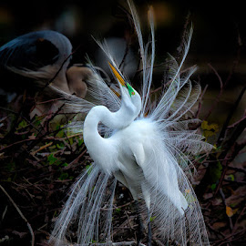 Mr. Handsome by Buddy Eleazer - Animals Birds ( giant egret, flordia bird shoot, wakadahatchee )