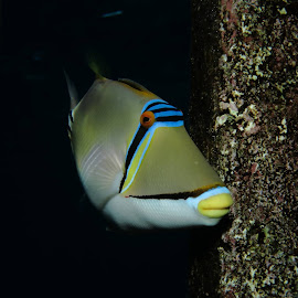 The great escape.Picasso Triggerfish  taken in eilat, israel at the 31.10.14Canon s120iso 80f/4.5s 1/2000af35 strobe by Tom Younger - Animals Fish (  )