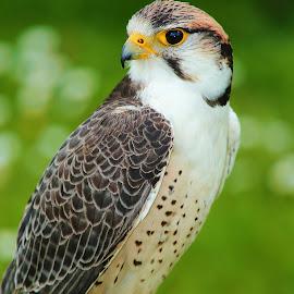 Falcon by Gérard CHATENET - Animals Birds
