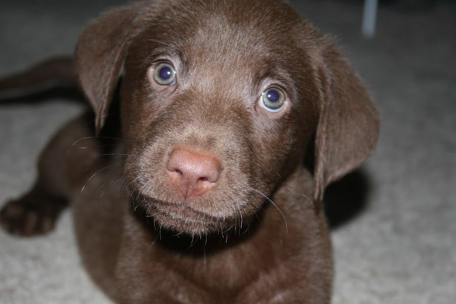 Those eyes by Alex Heimberger - Animals - Dogs Puppies ( puppies, animals, dogs, cute )