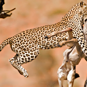 Catch of the Day by Bridgena Barnard - Animals Lions, Tigers & Big Cats ( animals, barnard, catch, kill, images, leopard, kgalagadicalf, bridgena,  )