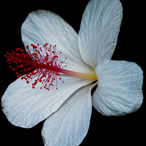 White Hybiscus On Black by Mark Zouroudis - Nature Up Close Flowers - 2011-2013 ( black background, hybiscus, red stamen, background, white, black, flower, nature, flowers,  )