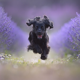Flying dog throw a lavender field by Claudio Piccoli - Animals - Dogs Running ( happydog, actiondogs, workshop, runningdogs, lavanda, dogsinaction, lavander, happiness, flyingdog, nikon, claudiopiccoli )