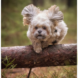 Jumping by Jan Egil Sandstad - Animals - Dogs Running ( playing, dogs, colors, cute, lhasa apso )