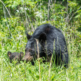 Bear and Cub by Thomas Shaw - Animals Other ( bear, animals, grass, green, tennessee, wildlife, cades cove, cub, field, mountains, black bear, fur, black, smoky mountains,  )