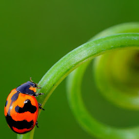 lady bug on pose .... by Sahid Djatmika - Animals Insects & Spiders