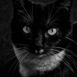 Tibby  by Jolyon Vincent - Animals - Cats Portraits ( mono, domestic, feline, cat, animal, black and white, pet,  )