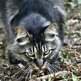 my territory by Tim Hauser - Animals - Cats Playing ( cat, tim hauser, art, fine art, animal )