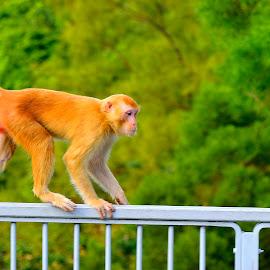 Wild monkey on the loose by Francois Wolfaardt - Uncategorized All Uncategorized