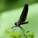 Ebony Jewelwing Damselfly (Female)
