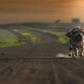 Tinkie running by David Botha - Animals - Dogs Running ( yorkie, beautiful, fast, dog, running,  )