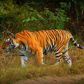 The Rampage by Soham Chakraborty - Animals Lions, Tigers & Big Cats ( predator, bamboo, tiger, grass, wildlife, forest,  )
