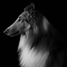 Classic Collie by Christina Smith - Animals - Dogs Portraits ( collie, collie (rough), black and white, dog portrait, dog, classic, twisted images photography, profile, regal )