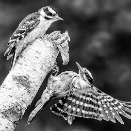 Downy Woodpecker Climbing To Feed Young by Carl Albro - Black & White Animals ( wing, tree, black and white, woodpecker, birds,  )