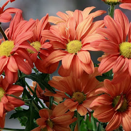 Wild orange daisies in a bunch by Giovanna Pagliai - Flowers Flowers in the Wild ( wild, gorgeous, sunny, country, fields )