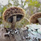 Lentinus Mushroom