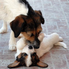 by Oreana Tomassini - Animals - Dogs Puppies (  )