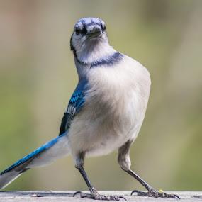 Attitude! by Sandy Hogan - Animals Birds ( attitude, sassy, bluejay, bird watching, bird photography,  )