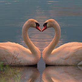 Seeing Double by Kelley Conkling - Digital Art Animals ( bird, water, heart, sunset, swan, animal )