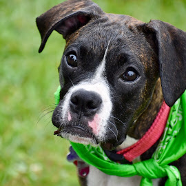 Zoey by Mindi Baum-sherlin - Animals - Dogs Portraits ( looking, bandanna, pet, outdoors, puppy, cute, dog, domestic, animal )
