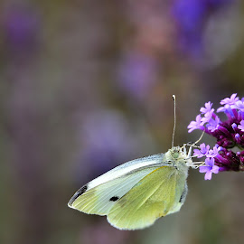 Cabbage butterfly on purple flower by Yani Dubin - Animals Insects & Spiders (  )