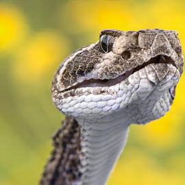 Be Very Still by Wade Grassedonio - Animals Reptiles ( snake, rattler, rattlesnake, texas, texas photo ranch,  )