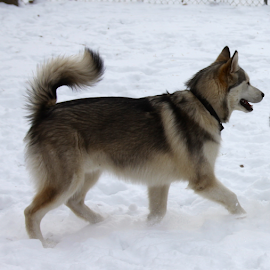 Snow!!! by Monica Hayden-Carroll - Animals - Dogs Running ( dogs and snow, snowdogs, malamutes )