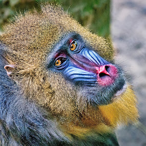 Mandrill Musings by Judy Rosanno - Animals Other Mammals ( headshot, ape, mandrill, houston zoo, closeup,  )
