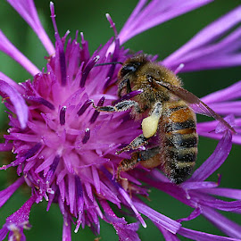 Busy Bee by Chrissie Barrow - Animals Insects & Spiders ( wild, pollen, thorax, wings, knapweed, abdomen, legs, insect, flower, honey bee, animal )