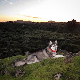 Ronja by Bjarklind Þór - Animals - Dogs Portraits ( lava field )
