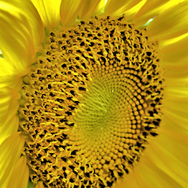 Sunflower by Teresa Wooles - Flowers Single Flower ( yellow flower, sunflower,  )