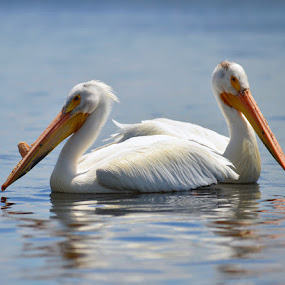 Comfortably Adrift by Greg Harrison - Animals Birds ( migratory birds, lake of the woods, pelicans, white pelicans, pelican winter migration, pelicans feeding, pelican summer migration )