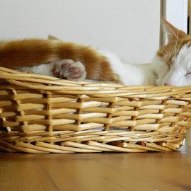 Simba Is Sleeping by Andrew Massey - Animals - Cats Portraits ( cat sleeping, basket, sleeping cat, cat, sleeping )