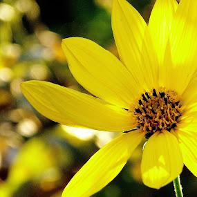 Water Daisy by Martin Brown - Flowers Flower Gardens ( nature, lumix, gardens, daisy, yellow, flower,  )