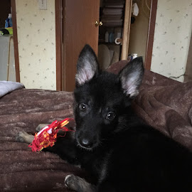 Lilly  by Teresa Flowers Wolford - Animals - Dogs Puppies ( playing, girl, precious, toys, german shepherd dog, adorable, puppy )