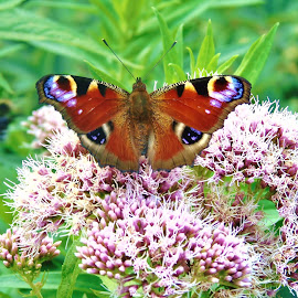 COLORFUL BUTTERFLY by Wojtylak Maria - Animals Insects & Spiders ( butterfly, colorful, july, insect, garden, flower, animal )