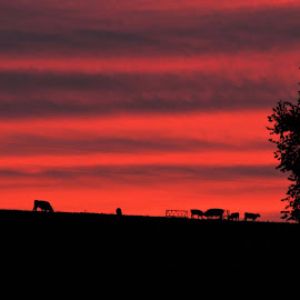 Silhouettes at Sunset. by Jim Dawson - Novices Only Landscapes ( farm, red, sunset, feeding, cattle, calves )