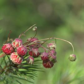 Горски ягоди by Galq Fo-teva - Nature Up Close Other plants