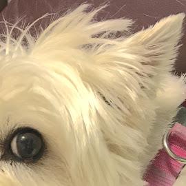 Attentive Westie Eye & Ear by Mike DeLong - Animals - Dogs Portraits ( westie, ear, highland terrier, dog, eye )