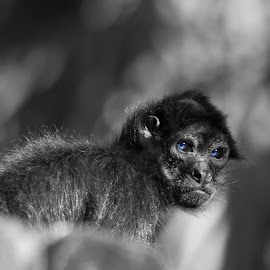 Spider Monkey by Victor Sanchez - Black & White Animals